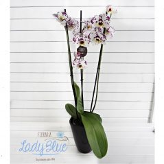 Orhidee G3