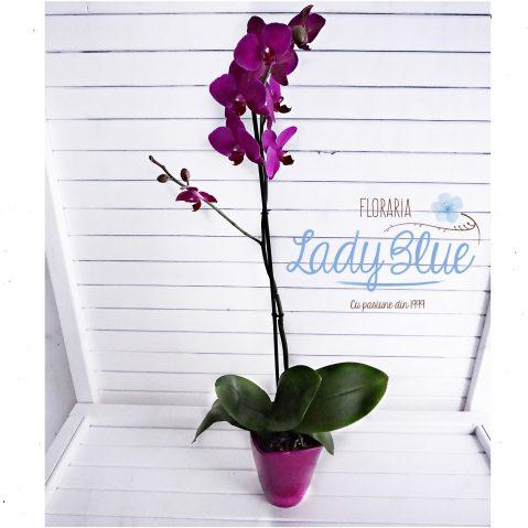 Orhidee G1