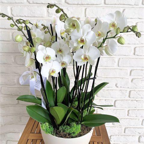 Aranjament phalaenopsis